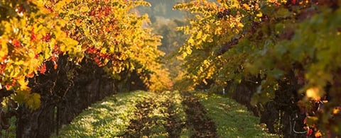 featured-vineyards-grapes-vines